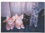 The Fab Four - Rusty, Dusty, Clemintine and Pokie - Doug Newman The Cat Album, Cat Songs, Kitten Songs